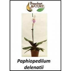 Paphiopedilum delenatii