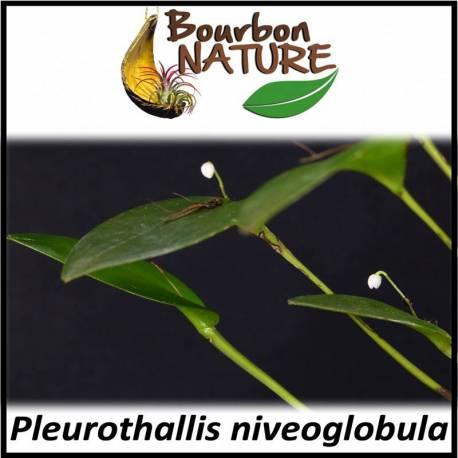 Pleurothallis niveoglobula
