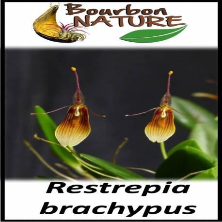 Restrepia brachypus