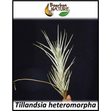 Tillandsia heteromorpha