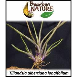 Tillandsia albertiana longifolium