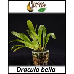 Dracula bella