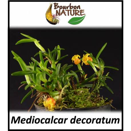 Mediocalcar decoratum - Orchidée botanique rampante