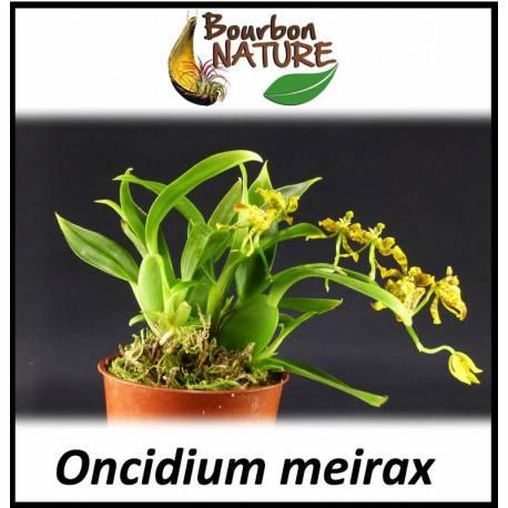 Oncidium Meirax - Hampe florale portant 10 à 15 fleurs - Floraison d'environ 2 mois