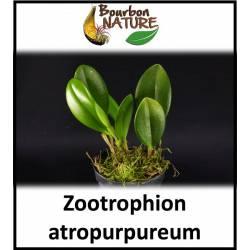 Zootrophion atropurpureum
