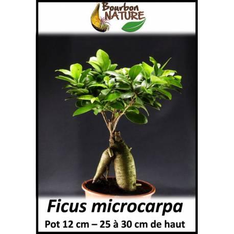 Ficus microcarpa - 25 à 30cm de haut