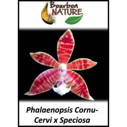 Phalaenopsis Cornu-Cervi x Speciosa