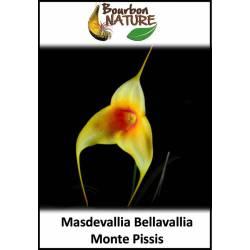 """Masdevallia Bellavallia """"Monte Pissis"""""""