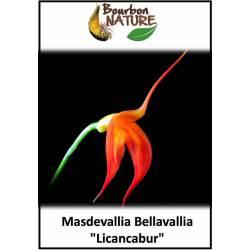 """Masdevallia Bellavallia """"Licanbur"""""""