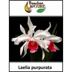 Laelia  purpurata - Sophronitis purpurata syn. Cattleya purpurata