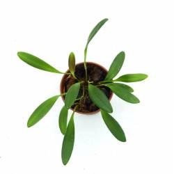 Stelis acutifolia - Orchidée botanique miniature idéale en terrarium