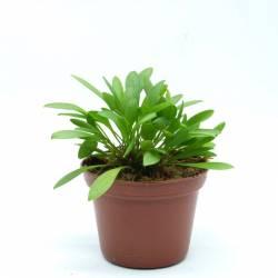 Pleurothallis grobyi - Orchidée botanique miniature idéale en terrarium