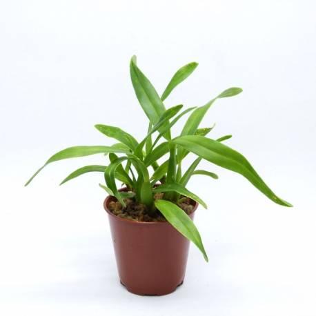 Epidendrum garcianum - Orchidée botanique miniature idéale en terrarium
