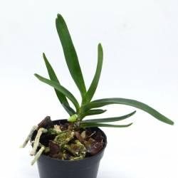 Angraecum didieri - Orchidée botanique miniature