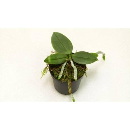 Phalaenopsis parishii - Orchidée botanique miniature à force de fleurir