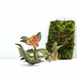 Epidendrum sangayense - Orchidée botanique miniature