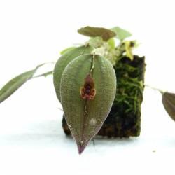 Lepanthes gargoyla - Orchidée botanique miniature