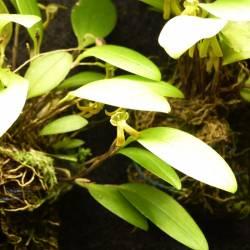 Pleurothallopsis inaequalis - Orchidéed botanique miniature