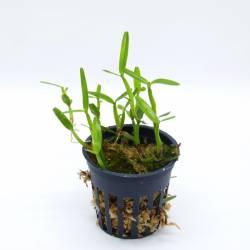 Scaphyglotis Minuta orchidée botanique pot 6cm