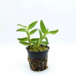 Epidendrum Panama Ruby - Orchidée miniature hybride