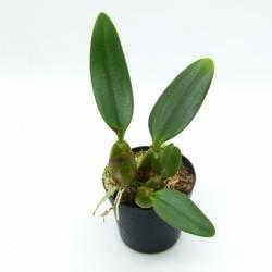 Cirrhopetalum ornatissimum x frostii