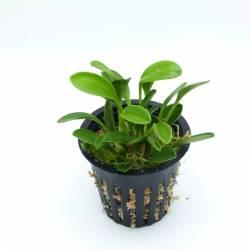 Masdevallia nidifica Jaune - Orchideé botanique miniature