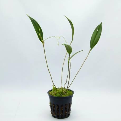 Lepanthes speciosa - Orchidée botanique miniature