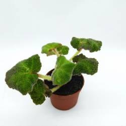 Begonia glaziovii