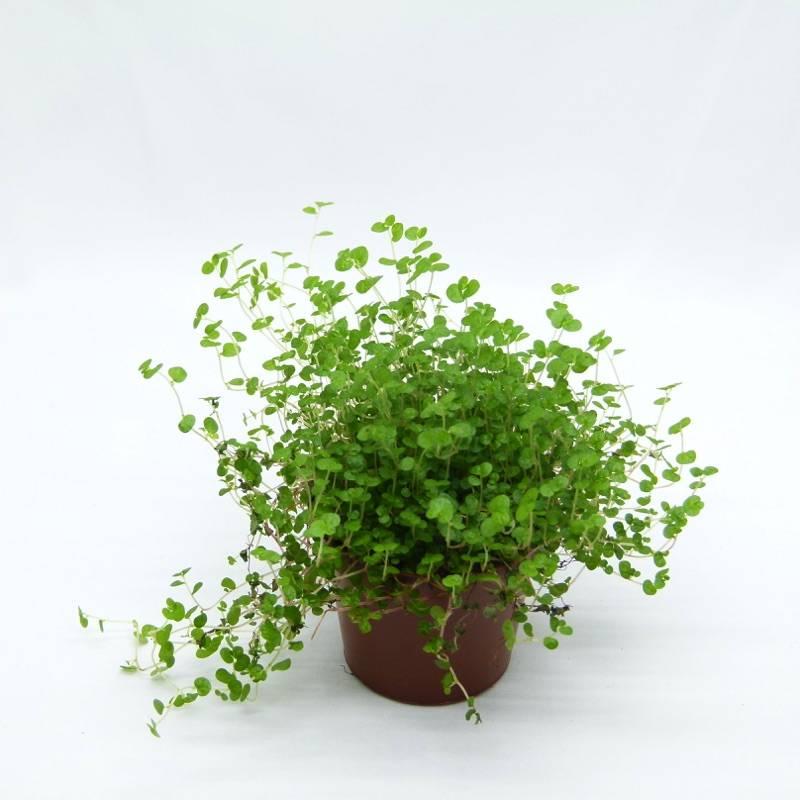 soleirolia soleirolii vente plante de terrarium plante verte et plante d 39 int rieur. Black Bedroom Furniture Sets. Home Design Ideas