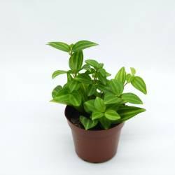 Peperomia angulata - Plante retombante pour terrarium tropical ou composition végétale