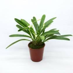 Masdevallia attenuata - Orchideé botanique miniature