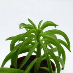 Peperomia pereskiifolia var. Happy Bean