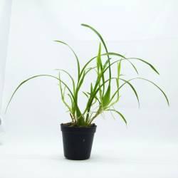 Sigmatostalix radicans - Orchidée botanique miniature très florifère