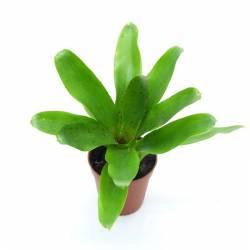 Neoregelia Narziss plante tropicale adaptée pour les dendrobates