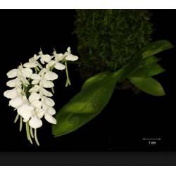 Aerangis citrata - Epiphyte