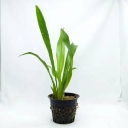 Cochleantes discolor - Orchidée botanique - Fleur odorante