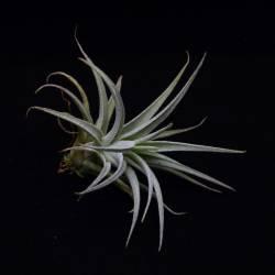 Tillandsia leonamiana - Plante décoration d'intérieur et terrarium