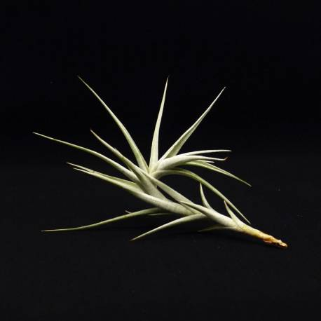 Tillandsia albida - Forme longue