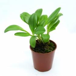 Masdevallia glandulosa - Orchidée botanique miniature