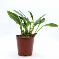 Masdevallia hieroglyphica - Orchidée botanique miniature