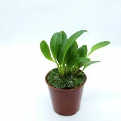 Masdevallia xanthina - Orchidée botanique miniature