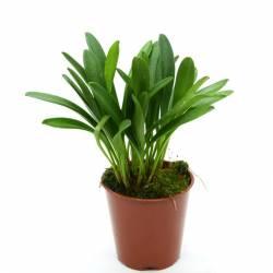 Masdevallia striatella - Orchidée botanique miniature