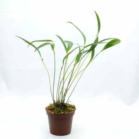 Pleurothallis ruscifolia - Orchidée botanique