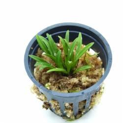 Trisetella hoeijeri - Orchidée botanique miniature