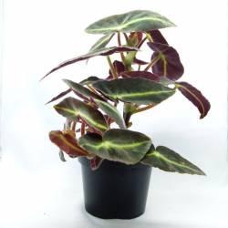 Begonia listada 'Brazil Angel Wing'