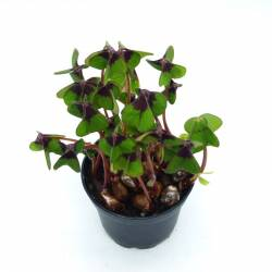 Oxalis deppei - Trèfle à 4 feuilles