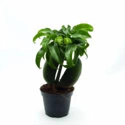 Castanospermum australe - Châtaigner d'Australie