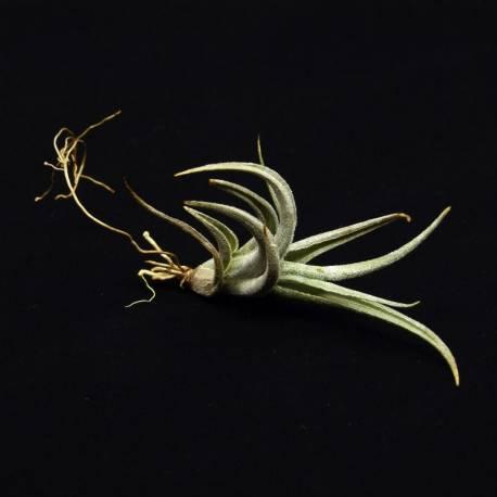 Tillandsia zecheri cafayatensis