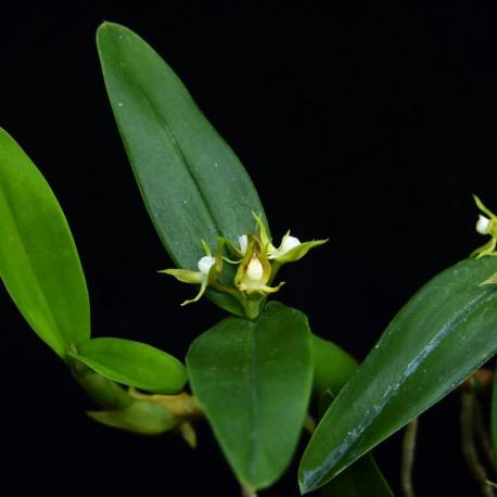 Epidendrum pygmea syn. Encyclia pygmea en floraison (Octobre - Janvier)