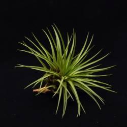 Tillandsia melanocrater tricolor
